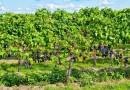 Pasado, presente y futuro del vino de Málaga