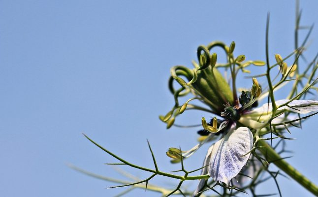 Planta de alcaravea. Foto: pixabay