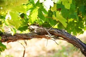 Exquisitos vinos provienen de la región de Alsacia
