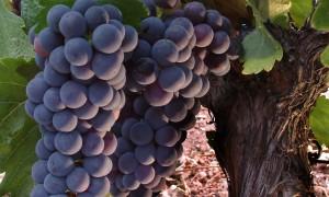 Seis cosas que no sabías sobre las uvas