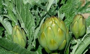 Alcachofa, una verdura muy saludable