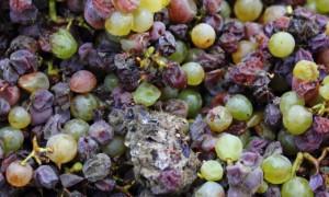 Tokaji, la Leyenda forjada en vino