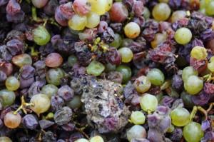 Uvas afectadas por Botritis Cinerea
