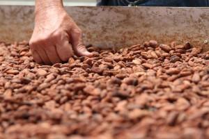 El fruto del cacao