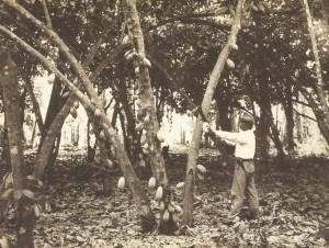 Plantaciones de cacao