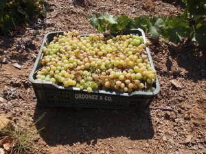 Los espumosos se elaboran con la uva moscatel