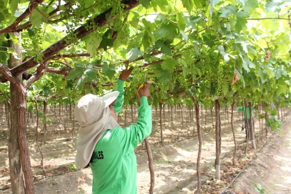 Estados Unidos es el mayor consumidor de la uva peruana. Foto: Manu Balanzino