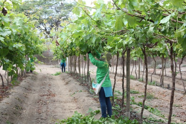 Las uvas de mesa encabeza la lista de los productos más exportados de Perú