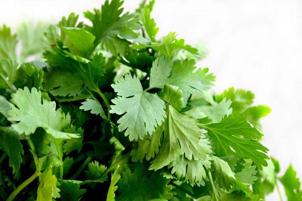 Hojas de cilantro fresco