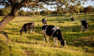 Beneficios de la leche de vaca