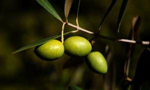 Diez razones para comer aceitunas