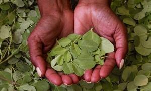 Moringa, el superalimento más codiciado