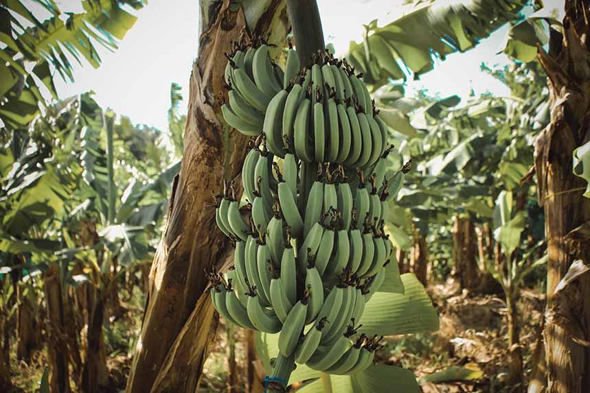 El plátano ocupa el segundo lugar entre las frutas preferidas de la población, después de las manzanas